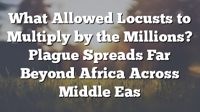 What Allowed Locusts to Multiply by the Millions? Plague Spreads Far Beyond Africa Across Middle Eas