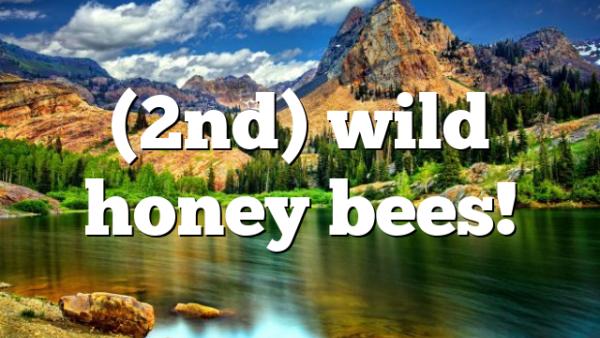 (2nd) wild honey bees!