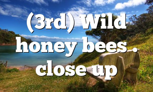 (3rd) Wild honey bees . close up