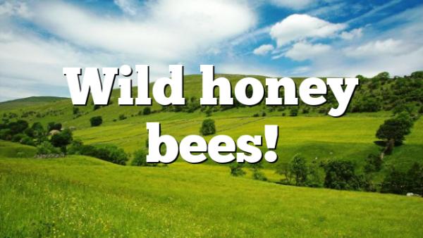 Wild honey bees!